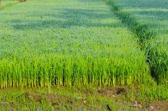 O arroz macio está crescendo acima Fotografia de Stock Royalty Free