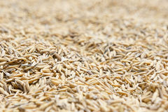 O arroz 'paddy', arroz 'paddy' tem não descascar para fora Fotografia de Stock Royalty Free