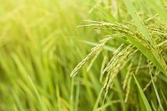 O arroz 'paddy' do crescimento no arroz coloca no campo fotografia de stock