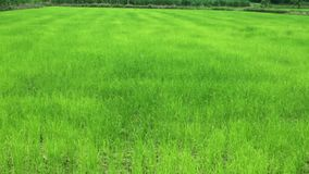 O arroz recém-nascido tem as folhas verdes vídeos de arquivo
