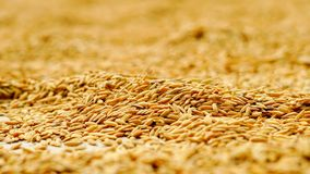 O arroz seca no telhado foto de stock royalty free