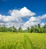 O arroz verde arquivou, palmeiras e céu nebuloso azul Foto de Stock