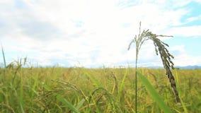O arroz verde coloca, paisagens das vistas bonitas em Tailândia video estoque