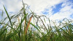 O arroz verde coloca, paisagens das vistas bonitas em Tailândia filme