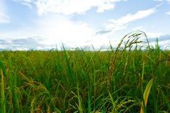 O arroz verde coloca, paisagens das vistas bonitas em Tailândia Fotografia de Stock Royalty Free