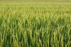O arroz verde no arroz do campo Fotografia de Stock Royalty Free