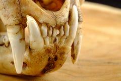 O asiático goldden canino do gato ou do gato de Temminck crânio e fotografia de stock royalty free