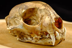 O asiático goldden canino do gato ou do gato de Temminck crânio e Imagem de Stock