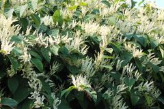 O asiático knotweed a espécie invasora do ruibarbo do asno na flor imagens de stock royalty free