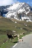 O asno, os carneiros e a neve branca cobriram montanhas Imagem de Stock Royalty Free