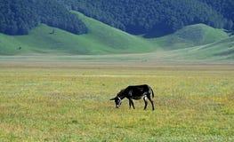 O asno pasta a grama em uma planície de Castelluccio, Itália imagem de stock royalty free
