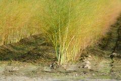 O aspargo branco planta officinalis do aspargo na exploração agrícola holandesa, foto de stock