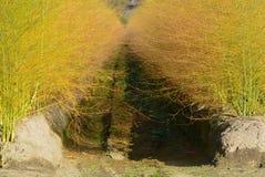O aspargo branco planta officinalis do aspargo na exploração agrícola holandesa, foto de stock royalty free