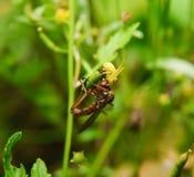 O assassino atacado do caranguejo aranha Goldenrod voa Imagens de Stock