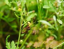 O assassino atacado do caranguejo aranha Goldenrod voa Fotografia de Stock Royalty Free