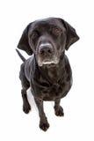 O assento do cão preto olha-me Foto de Stock Royalty Free
