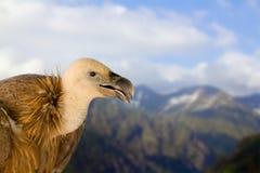 O assento dos animais selvagens do pássaro do grifo está sobre contra montanhas altas e o céu azul fotos de stock royalty free