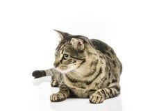 O assento europeu do gato do shorthair no olhar sem emenda branco saiu foto de stock royalty free
