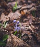 O assoalho da floresta na mola adiantada Sinos azuis Scilla Fotos de Stock Royalty Free