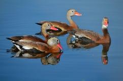 O assobio inchado preto ducks para fora para uma nadada Fotos de Stock Royalty Free