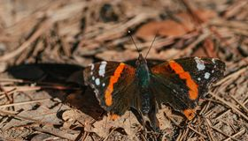 O atalanta de Vanessa da borboleta do almirante vermelho aterrou na terra frondosa Fotografia de Stock