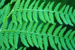 O Athyrium sae do close up Imagens de Stock Royalty Free