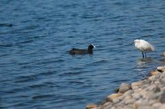 O atra direito e euro-asiático do garzetta do Egretta do egret pequeno do galeirão do Fulica saiu imagens de stock