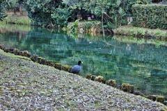O atra do Fulica do galeirão é uma da espécie aquática no Vêneto com centenas de aninhamento dos pares foto de stock royalty free