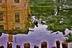 O atra do Fulica do galeirão é uma da espécie aquática no Vêneto com centenas de aninhamento dos pares fotos de stock royalty free