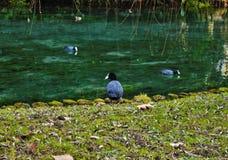 O atra do Fulica do galeirão é uma da espécie aquática no Vêneto com centenas de aninhamento dos pares fotografia de stock