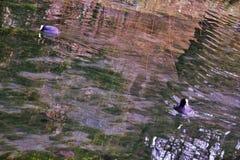 O atra do Fulica do galeirão é uma da espécie aquática no Vêneto com centenas de aninhamento dos pares fotografia de stock royalty free