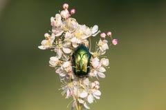 O aurata verde do Cetonia do besouro da forra cor-de-rosa que senta-se no dropwort da samambaia-folha floresce Filipendula vulgar fotografia de stock