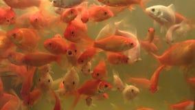 O auratus dourado do carassius do peixe dourado na água oxigenada do aquário e no formulário branco, produzindo para a conservaçã vídeos de arquivo