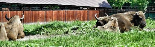 O aurochs Foto de Stock Royalty Free