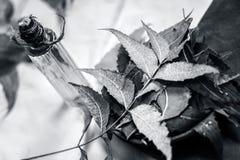 O Azadirachta indica, Neem com suas folhas e o óleo em uma garrafa em uma argila rolam para cuidados com a pele Fotos de Stock Royalty Free