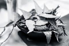 O Azadirachta indica, Neem com suas folhas e o óleo em uma garrafa em uma argila rolam para cuidados com a pele Foto de Stock