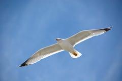 O azul acima de uma gaivota foto de stock