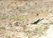 O azul atou o comedor de abelha que inscreve uma toca na floresta de Jhirna Foto de Stock