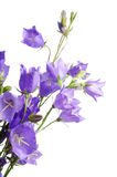 O azul bonito floresce o campanula Fotografia de Stock