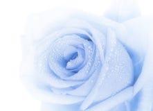 O azul bonito levantou-se Fotos de Stock Royalty Free