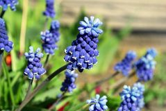 O azul brilhante floresce o Muscari Foto de Stock