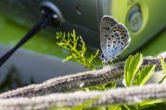 O azul comum (Polyommatus Ícaro) Foto de Stock