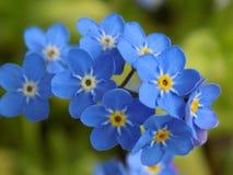 O azul esquece-me não flores fotos de stock royalty free