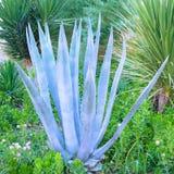 O azul esverdeado bonito de um cacto da agave Foto de Stock Royalty Free
