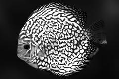 O azul exótico da cor do aquário dos peixes de Diskus isolou o animal da natureza do fundo foto de stock