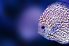 O azul exótico da cor do aquário dos peixes de Diskus isolou o animal da natureza do fundo imagem de stock royalty free