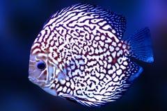O azul exótico da cor do aquário dos peixes de Diskus isolou o animal da natureza do fundo fotografia de stock