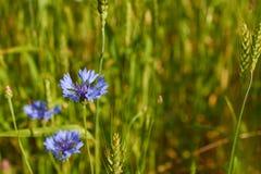 O azul floresce as centáureas que crescem entre o trigo Imagem de Stock