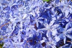 O azul floresce o fundo Imagens de Stock