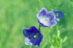 O azul floresce sinos imagens de stock royalty free